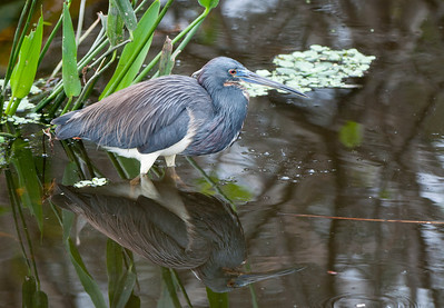 Tricolor Heron with reflection in the lagoon.
