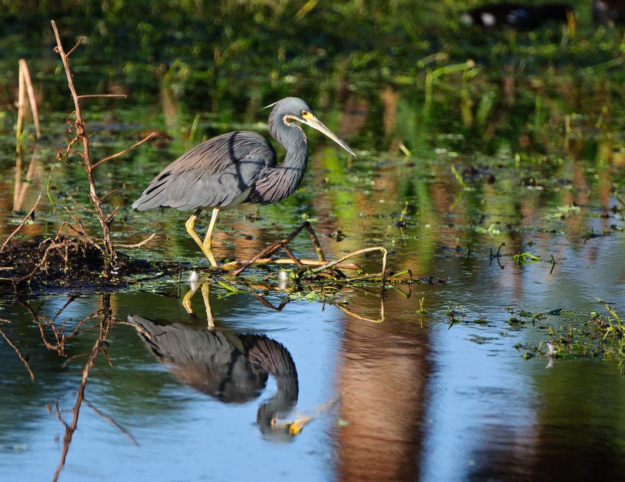 Tricolor Heron admires his reflection in the marsh pond.