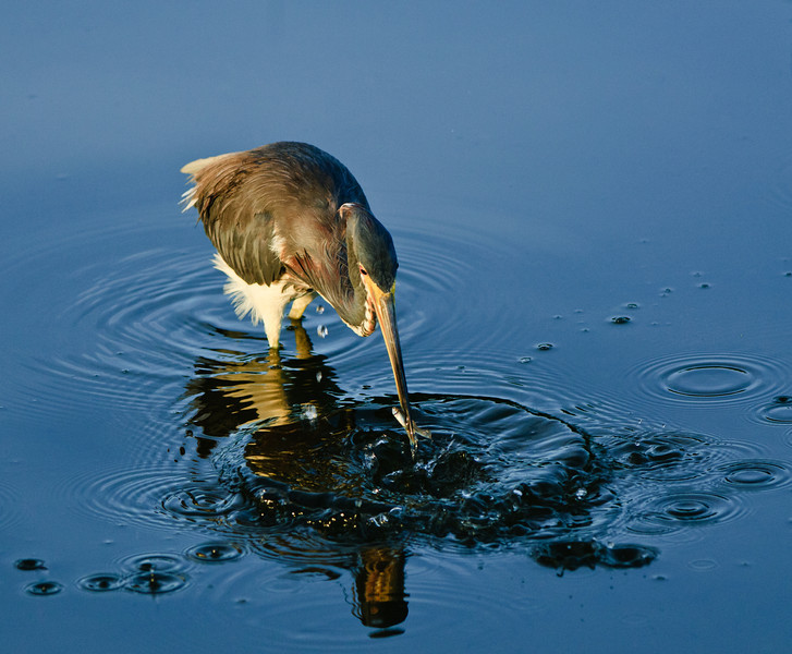 A tricolor heron, fishing for breakfast, catches the first light of a new day.