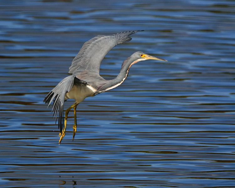Tricolor Heron in flight