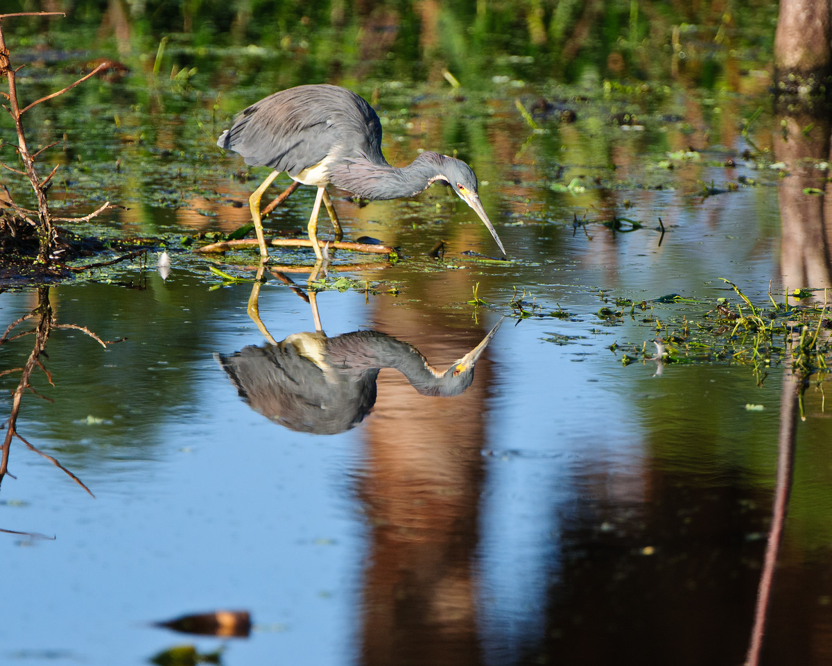 A Tricolor Heron looks over the competition for a fish.