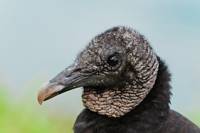The Black Vulture---vandal of the Everglades.  This bird rips of any form of rubber, (wiper blades, weather stripping) that it finds on car parked throughout Everglades National Park.  Be  very careful where you park at the Anhinga Trail and at the Flamingo Marina.