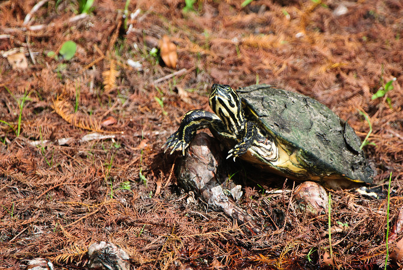 Florida Hardshell Turtle.