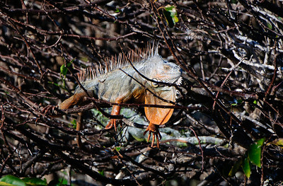Iguana.  This is the iguana that captured and killed the two GBH chicks shown here.  They died in their third week.