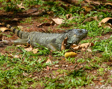 Iguana.  This is the egg thief that ate the Green Heron chicks.