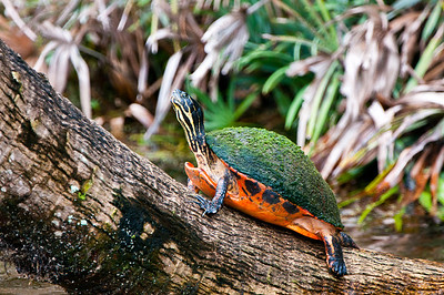 Turtle sunning on a log.