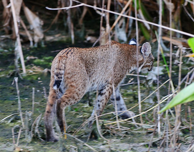 Bobcat kit leaves the site where its sibling was grabbed by an alligator.  Life in the wild is cruel.