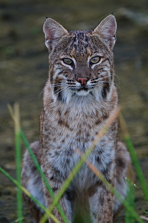 Bobcat kit at Green Cay after its sibling was grabbed by an alligator.