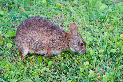Common Marsh Hare