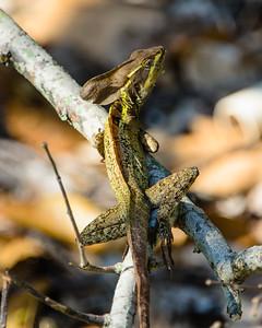 Hood Lizard