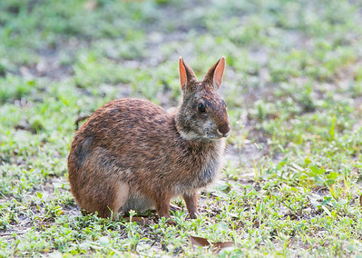 A marsh rabbit.
