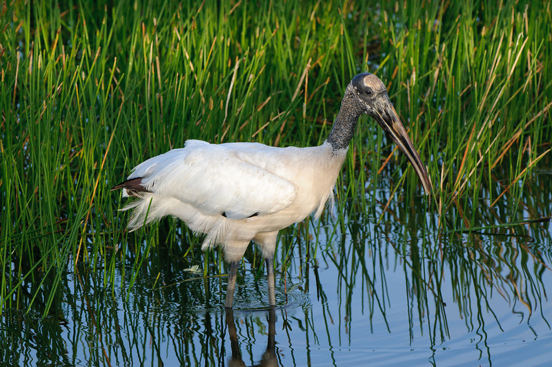 Woodstork wading through the wetlands.