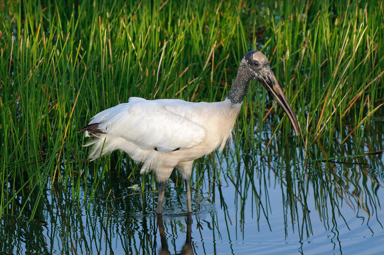 Woodstork wading through the wetlands.