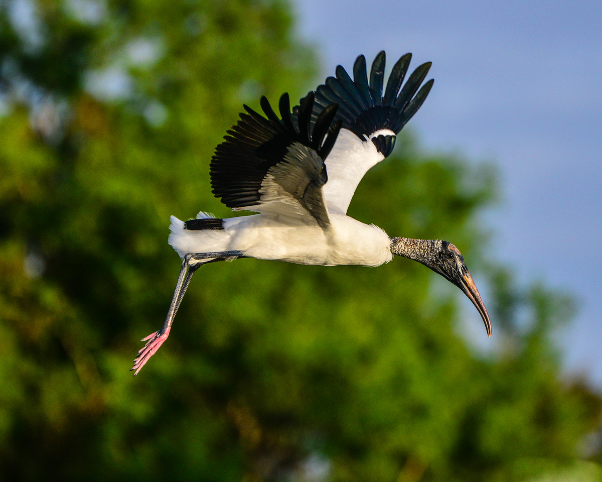 Wood Stork hovers over her nest.