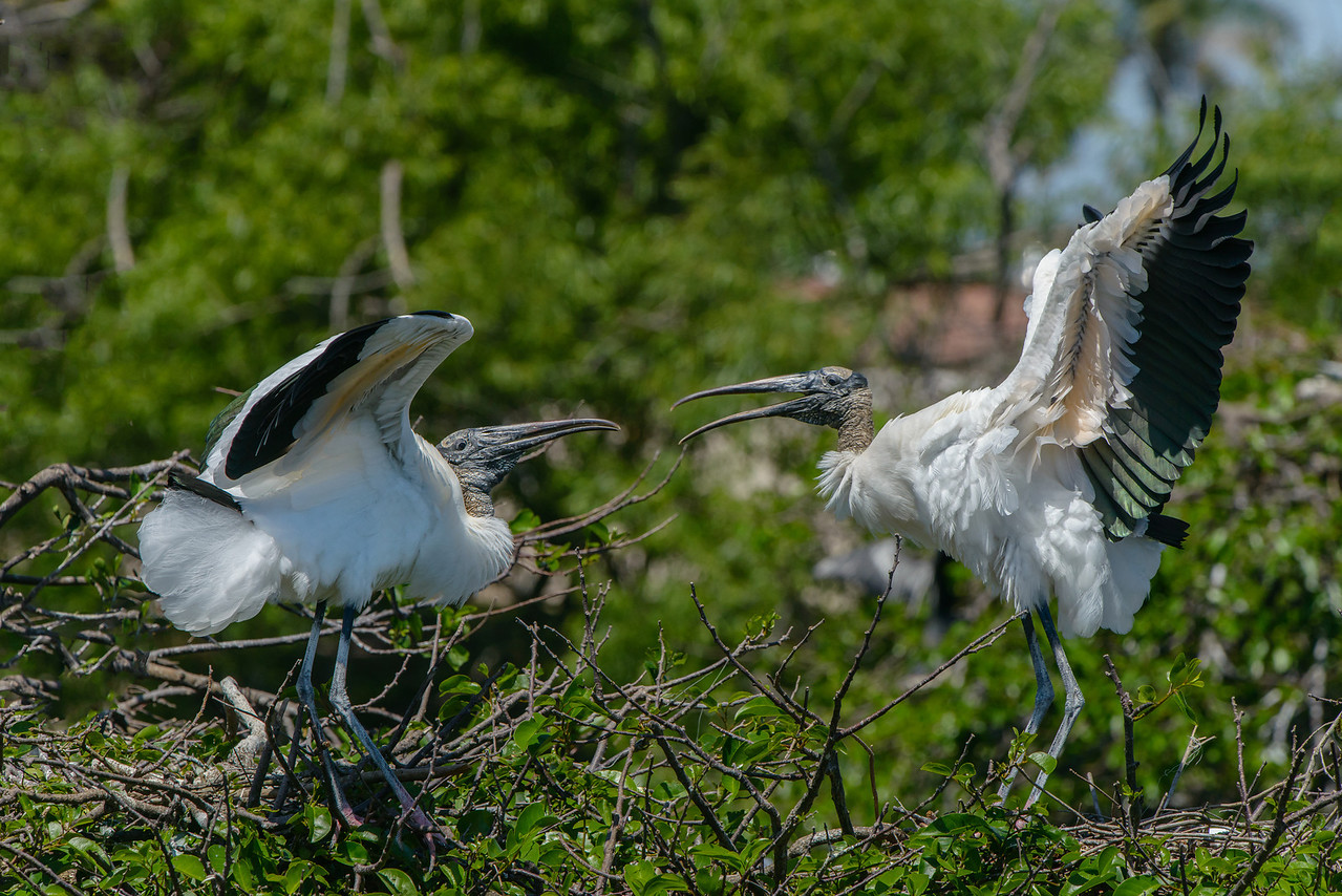 These wood stork females can't seem to live as neighbors.  Each has a next and they are fighting over territory.  The snap and clacking of their bills was clearly audible from over 100 feet away