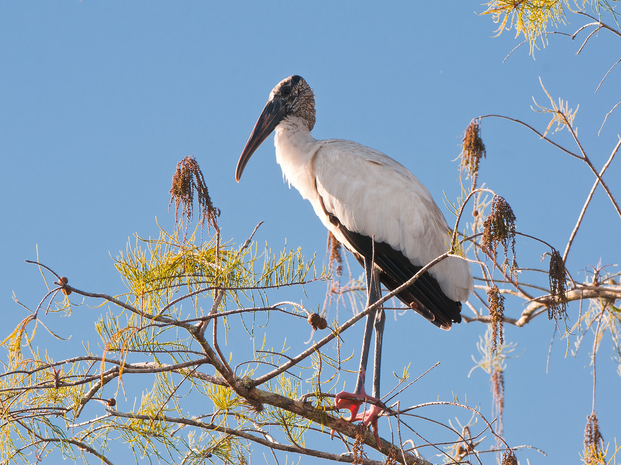 A bird on the endangered species list, this Wood Stork stands in a Florida pine tree.