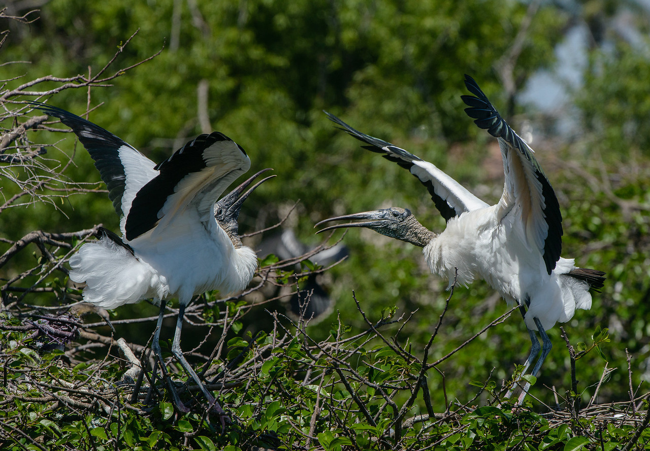 These wood stork females can't seem to live as neighbors.  Each has a next and they are fighting over territory.  The snap and clacking of their bills was clearly audible from over 100 feet away.