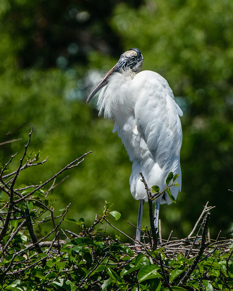 Wood Stork female stand on her nest.