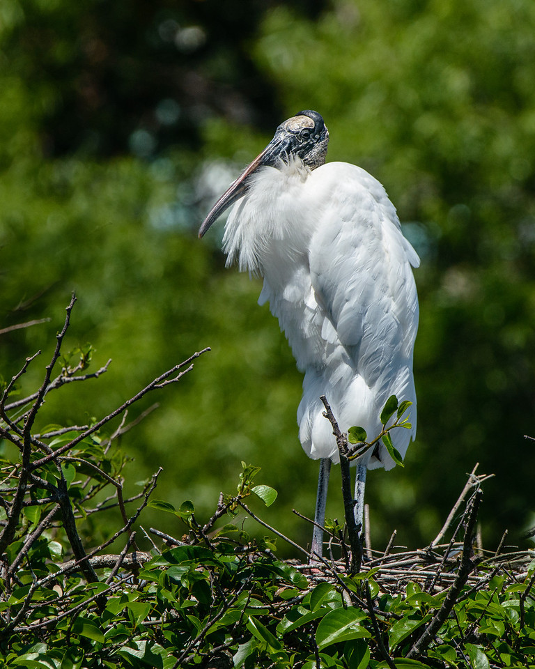 Wood Stork female stand on her nest.