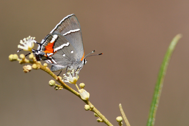 The Bartram's Hairstreak, an increasingly rare sighting in the pine rocklands.  Seen here perched on its only host plant the pineland croton.