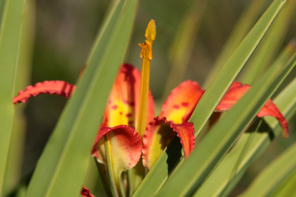 Catesby's or Pine Lilly and Palmetto