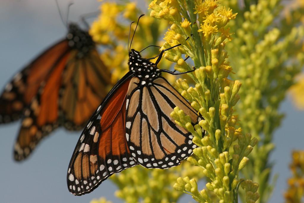 Monarchs on Seaside Goldenrod