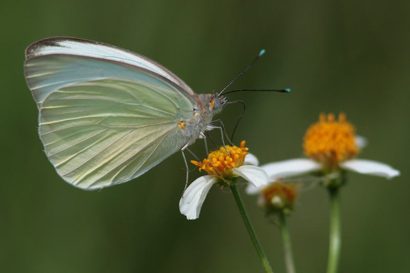 Southern White nectaring on spanish needles