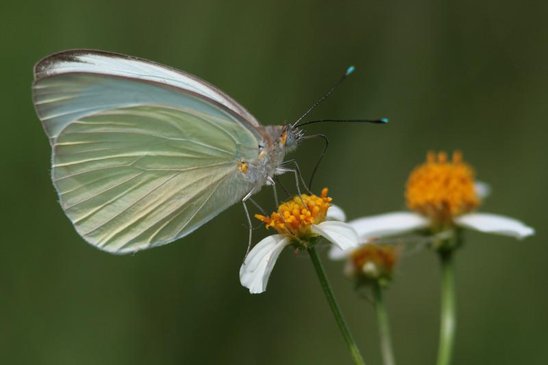 Southern White nectaring on spanish needles