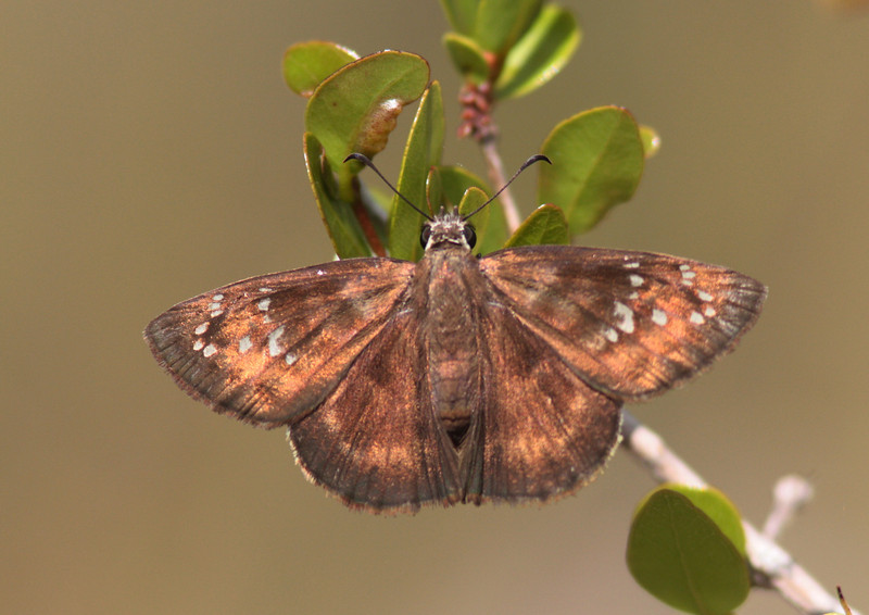 Female Florida Duskywing, imperlied species of the pine rockland ecosystem.