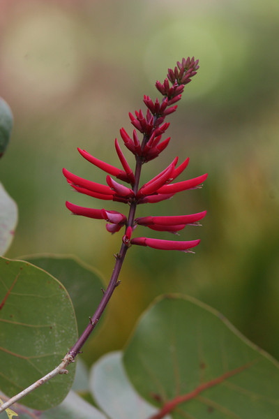 Coral bean flower and seagrape leaves