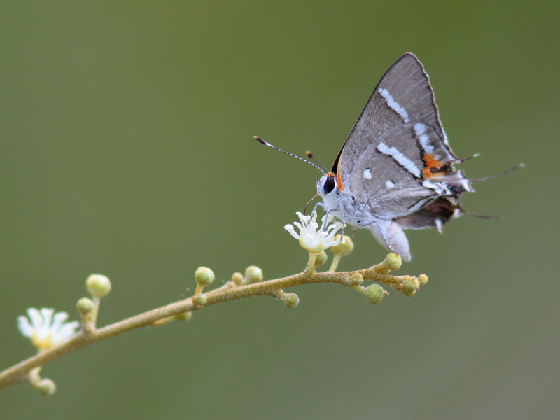 Bartram's Hairstreak