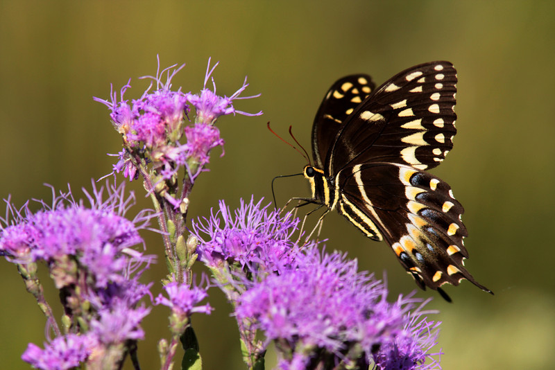 Palamedes Swallowtail. Disney-Nature Conservancy Preserve, Kissimmee Florida