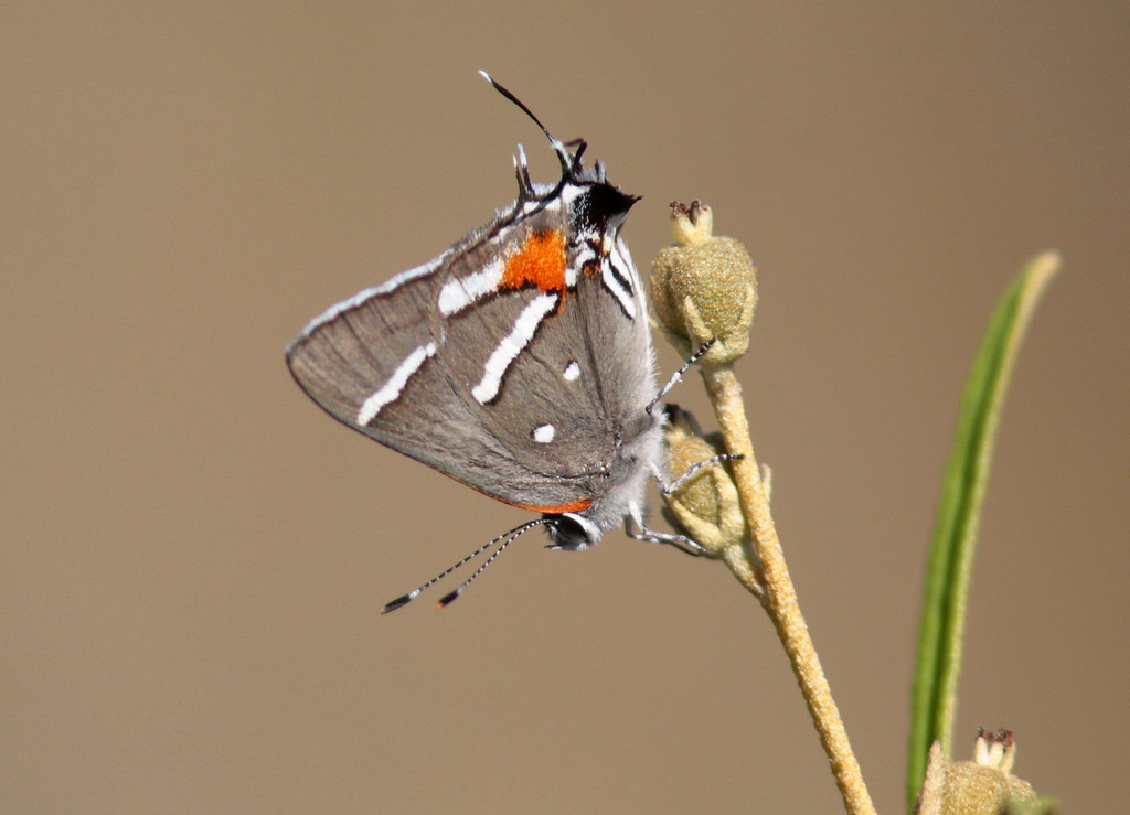 Bartram's Hairstreak on Pineland Croton. Key Deer National Wildlife Refuge