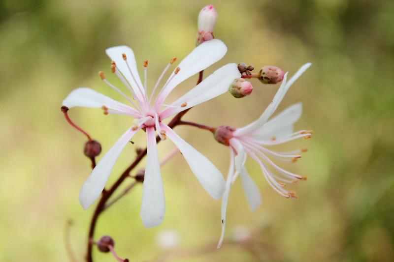 Tar Flower