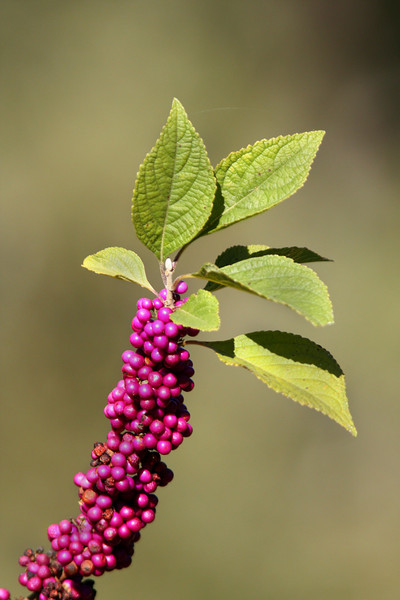 Beauty Berry, Callicarpa Americana