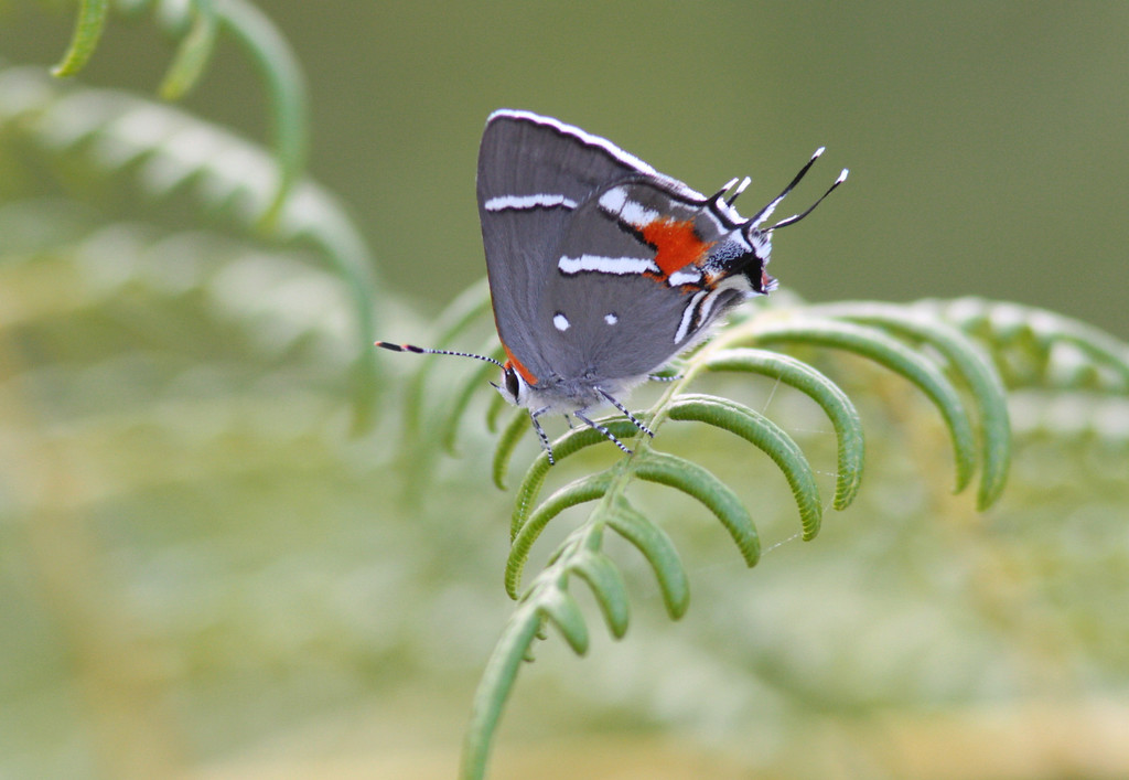 Bartram's Hairstreak<br /> <br /> This tiny butterfly only exists in the pine rockland ecosystems if South Florida and depends on its sole host plant and nectar source the pineland croton. Currently the Bartram's Hairsteak is candidate for listing on the endangered species act.  Fortunately, most of the remaining habitat has been protected.  However, the vast majority of its habitat has already been destroyed and it buried under what is now the metro miami-dade area.