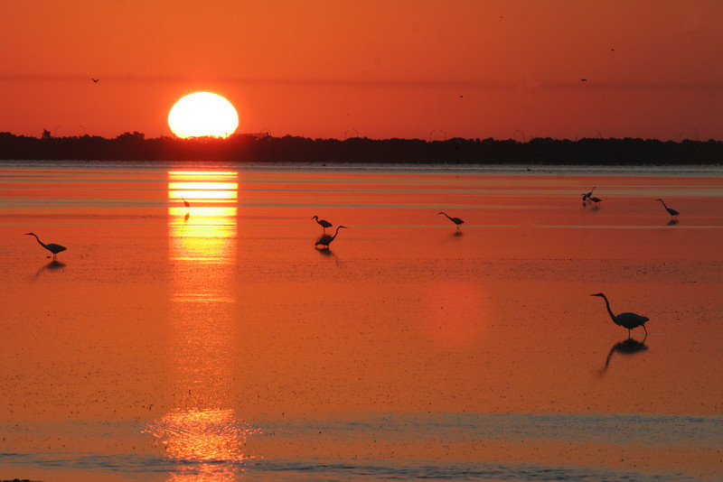 Ft. Desoto causeway at sunrise, herons and egrets in foreground.