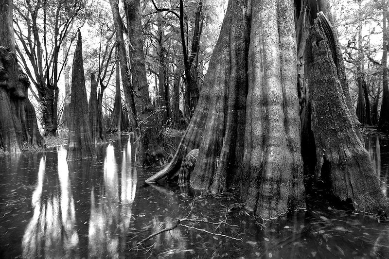 Old growth cypress along the Suwannee River