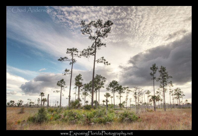 """Pine Savannah""<br /> Big Cypress National Preserve"