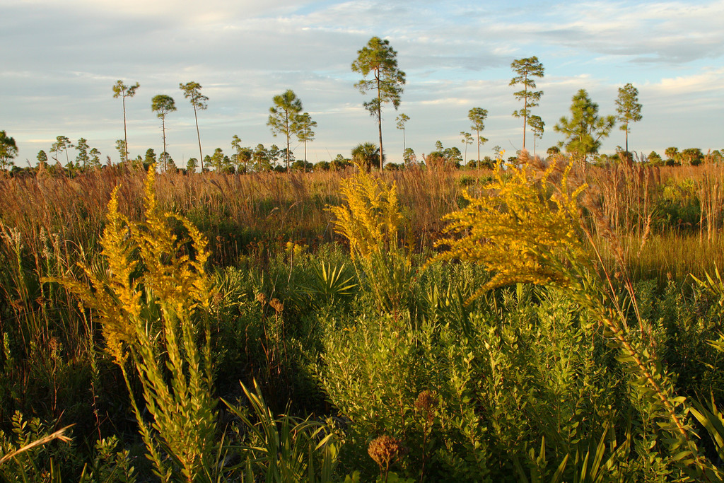 Golden Rod on the Savannah, Ok Slough State Forest