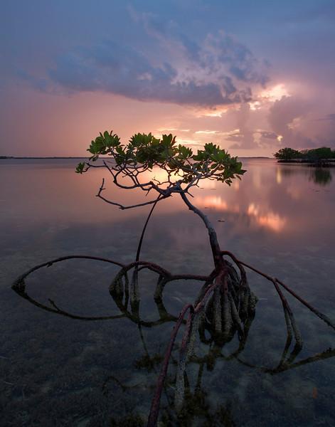 Mangrove portrait 12