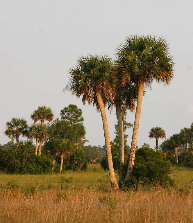 Cabbage Palm Prairie