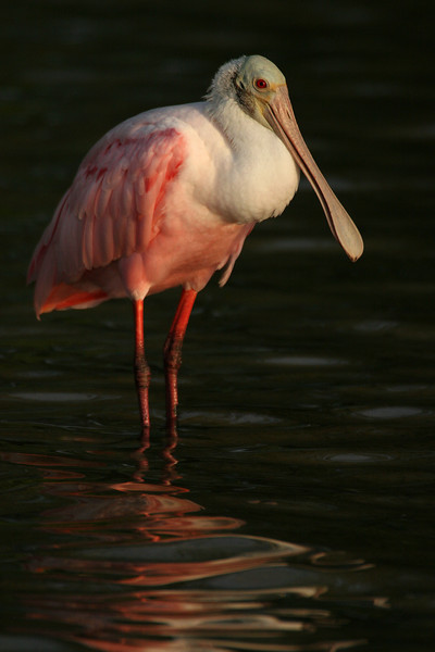 Spoonbill on Black