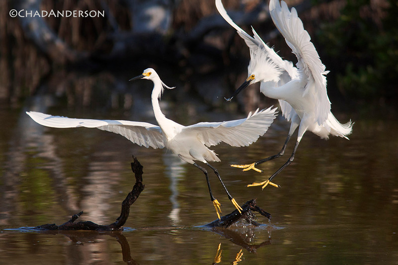 """Egret Fight""<br /> <br /> Snowy egrets fight for a prize fishing spot in an ephemeral pond on Big Pine Key."