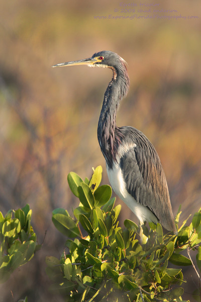 Tricolored Heron, Merritt Island National Wildlife Refuge