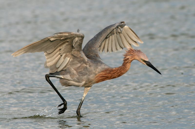 Reddish Egret in all its Glory