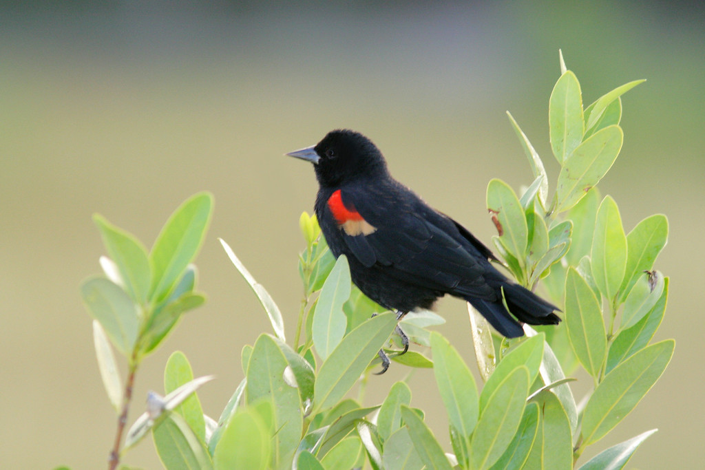 Red-winged Black Bird