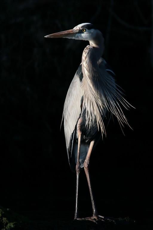 Great Blue Heron on Black