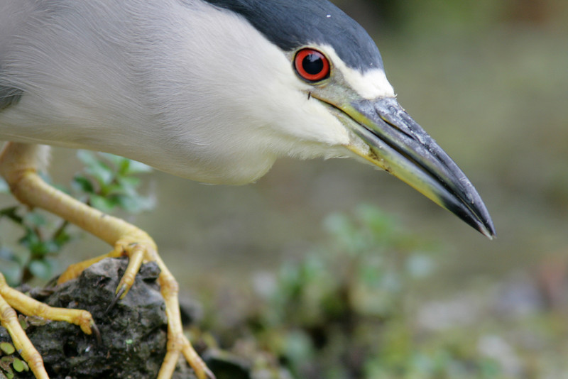 """Welcome to my World""<br /> <br /> Black Crowned Night Heron, Turner River- Big Cypress National Preserve"