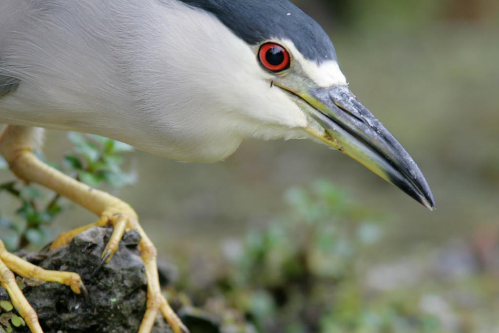 """Welcome to my World""<br /> <br /> Black Crowned Night Heron, Turner River- Big Cypress National Preserve"